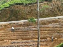 Preparing to plant tea bushes